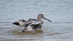 Willet Bathing (stephaniepluscht) Tags: gulf alabama bathing shores willet 2015