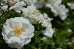 (Sandra Király Pictures) Tags: rose poland kraków botanicalgarden rosegarden ogródbotaniczny