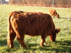 DSCF8528 Parco Nord - Una fattoria! (Franz Maniago) Tags: tori cavalli toro mucche asinello asini bovini animalidomestici animalidafattoria animalidigrossataglia