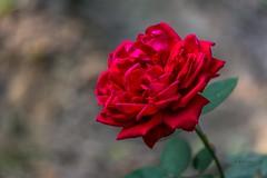 Red Rose (sanivhazari) Tags: beaut