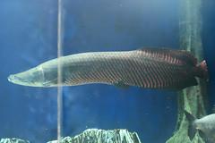 Pirarucu () (Bri_J) Tags: fish japan tokyo nikon ikebukuro   arapaima  arapaimagigas pirarucu sunshinecityaquarium  d7200