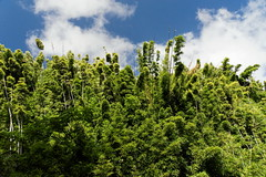 DSC00702_DxO_Grennderung (Jan Dunzweiler) Tags: hawaii jan maui bamboo hanahighway pipiwaitrail oheo bambus oheogulch bambooforest haleakalanationalpark hanahwy hwy360 bambuswald highway360 pipiwai haleakanationalpark dunzweiler haleakanp oheogulch oheo jandunzweiler