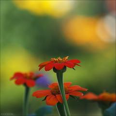 Studentenblume (p h o t o . w o r l d s) Tags: flower nature closeup fuji bokeh natur makro tagetes studentenblume s5pro nikon75150mm35 photoworlds