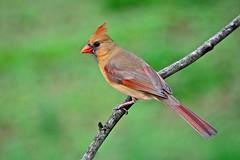 Northern Cardinal (female) (deanrr) Tags: bird nature cardinal bokeh outdoor alabama northerncardinal 2015 femalenortherncardinal morgancountyalabama
