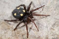 IMG_8010 Var - Uroctea durandi femelle (fabianvol) Tags: portrait france spider arachnid araa francia araigne arachnida arachnide