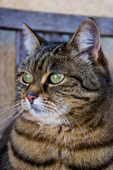 Majestic cat (Powergraphy) Tags: detail animal cat awesome sharp photograph majestic