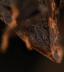 Tylopelta gibbera,, f, sternites_2016-11-12-19.50 (Sam Droege) Tags: zerenestacker stackshot geologicalsurvey unitedstatesgeologicalsurvey departmentoftheinterior droege biml beeinventoryandmonitoringlaboratory bug bugs canon closeup macro insect patuxentwildliferesearchcenter pwrc usgs dofstacking stacking canonmpe65 taxonomy:binomial=tylopeltagibbera animals animal treehopper treehoppers tylopelta sarahkocher princeton