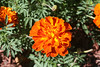 French marigold (Tagetes patula), in Staten Island, New York, USA. September, 2016 (Tom Turner - SeaTeamImages / AirTeamImages) Tags: garden marigold frenchmarigold tagetespatula nature colors colorful tomturner statenisland newyork nyc bigapple unitedstates usa orange red yellow petals