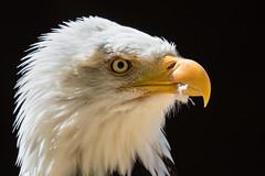 Head Shot (Glenn.B) Tags: americanbaldeagle andover hct hawkconservancytrust