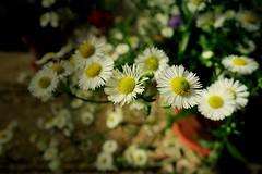 im Garten , 75225/7424 (roba66) Tags: blumen blume blten flower blossom roba66 fleur flori flor flora flores bloem plants pflanzen makro macro closeup colour color farbe