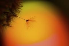 Backlit for Macro Mondays (Tomo M) Tags: macromondays backlit macro dandelion light color silhouette