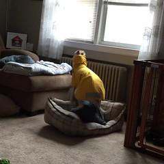 Crazy Hound (DiamondBonz) Tags: spanky dog hound whippet raincoat crazy silly rain pet