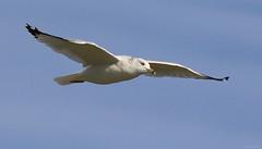 Ring-billed Gull - 094A7599ac (Sue Coastal Observer) Tags: ringbilledgull rbgu larusdelawarensis blackiespit surrey bcbritishcolumbia canada flight