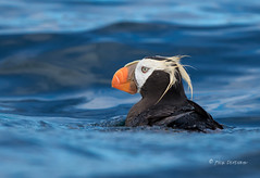 Tufted Puffin (Rick Derevan) Tags: alaska kodiak tuftedpuffin fraterculacirrhata bird nature kodiak2016 kodiaktrip2016 places