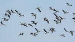 Greylags (pstani) Tags: anseranser england norfolk titchwellrspbreserve uk bird goose greylag