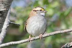 White-throated Sparrow (rwkphotos) Tags: novascotia canada whitethroatedsparrow