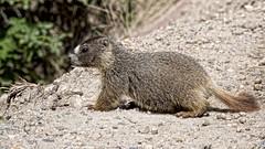 young marmot (Pejasar) Tags: young marmot colorado rockymountainnationalpark oldfallriverroad mammal
