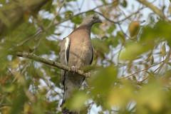 Young Woodpigeon (Kay Musk) Tags: woodpigeon columbapalumbus bird juvenile willow gardenwildlife wildlife wild nature essex uk nikond3200 ngc