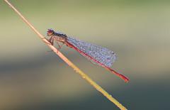 koraaljuffer (Ceriagrion tenellum) (peter nijland) Tags: twente dinkelland bergvennen libel dragonfly dauw dew nature natuur macro tamron 90mm