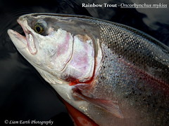 Rainbow Trout - Oncorhynchus mykiss (liamearth) Tags: fish northern scotland loch awe lake river predator ichthyology freshwater water spinner spoon lure fishing angling animal wildlife species outdoor fins bw black white rainbow trout mykiss oncorhynchus worm hook head earth