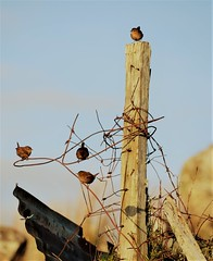 Dreathan-donn (Mairead Nic) Tags: shadows uist hebrides wren barbed wire silhouette scotland cheesebay tweeting bird