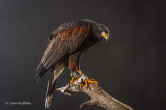 Harris Hawk D50_4484.jpg (Mobile Lynn) Tags: birds captive birdsofprey harrishawk nature bird birdofprey fauna raptor wildlife ringwood england unitedkingdom gb coth specanimal ngc sunrays5