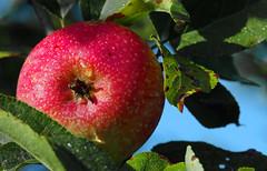 mmmh... (Knarfs1) Tags: apfel apple fruit frucht tree baum obst garden harvest ernte