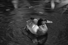 Ente / Duck (Andreas Meese) Tags: hamburg wilhelmsburg ernst august kanal ente duck vogel bird natur nature nikon d5100 outdoor tier wasservogel