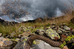 (bortozz) Tags: vipera berus marasso macro canon7d2 canonmp65mm sauron lagorai mountains nature snake adder storm escape wideanglemacro 1017tokina