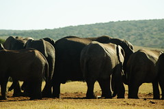 DSC03927 (Emily Hanley Photography) Tags: elephant elephants addo elephantpark nationalpark sa southafrica africa photography colour warthogs buffalo zebra waterhole rawimages raw nature naturalphotography animals animal