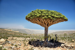 Dragon blood tree (indomitablemachine) Tags: delicia dixam diksam dragonblood island plateau socotra tree yemen hadhramautgovernorate ye