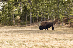 untitled-1 (eenerf) Tags: wyoming yellowstonecanyon yellowstonepark naturalbeauty nature bison
