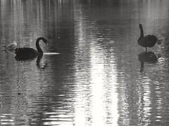 Julia & Julian Les deux cygnes noirs The two black swans