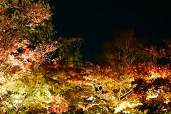 DSC01499 (MrSUIZOU) Tags: 京都 紅葉 ライトアップ 梅小路公園 朱雀の庭 東寺 教王護国寺