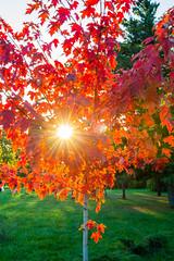 DSC_7505 (sergeysemendyaev) Tags: 2016 russia krasnodar autumn fall       red leaves maple sunset   dusk sun  tree