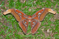 1600-JKWB5658 ([wj]) Tags: 16111115 frasershill pahang malaysia attacus male