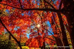 Autumn Glory (T i s d a l e) Tags: tisdale autumnglory tree foliage japanesemaple farm autumn fall november 2016 easternnc