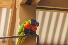 JaxZoo_11-23-16-5932 (RobBixbyPhotography) Tags: animals florida jacksonville zoo lorikeets