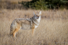Prairie Coyote (Turk Images) Tags: aspenparkland canislatrans jaspernationalpark montanewoods mountainparks prairiecoyote transitionzone alberta canidae mammals fall mountains woodlands