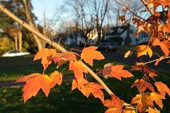SAM_1852 (falcon170ct) Tags: autumn fall leaves redoak