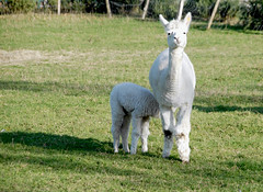 Mother and Baby Llama (murtphillips) Tags: llama mother baby england surrey epsom uk