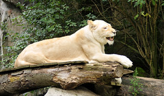 White Lions Ouwehands Dierenpark (lesbaer4) Tags: zoo rhenen ouwehandsdierenpark leeuwen whitelions witteleeuwen ouwehandszoo