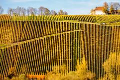 Die Aufsteiger (fotomanni.de) Tags: bayern herbst gelb franken weinberg nordheim rebe unterfranken reihen vogelsburg