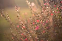 Backlight (Elizabeth_211) Tags: flowers sunset backlight garden tennessee 100mm 6d jacksontn westtn sherielizabeth