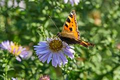 Aglais urticae, Kleiner Fuchs, Small Tortoiseshell (Markus Schinke) Tags: flower nature butterfly outdoor smalltortoiseshell schmetterling botanischergarten kleinerfuchs