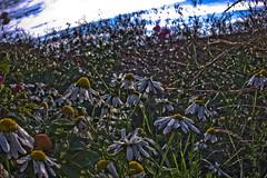 Morning Light (tabulator_1) Tags: daisies coast wildflowers southport