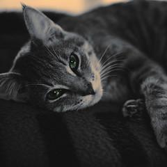 247  365  IV (Randomographer) Tags: cute face up cat project fur nose furry kitten kat feline nap close fuzzy kitty fluffy whiskers sleepy gato snooze catus rest katze 365  macska  con zzz koka  katt felis kissa kttur kucing 247 mo