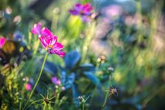 Sun Lovers (Elizabeth_211) Tags: flowers nature garden bokeh tennessee 100mm jacksontn 70d westtn utgardensjackson sherielizabeth