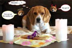 Ruby´s 5th birthday (hohash) Tags: beagle