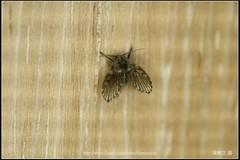 _1X_APSC_01 () Tags: macro canon flickr f e wen wesley mp 28 mm ho dslr f28 animalia arthropoda chen 65 1x diptera 2x  4x insecta mpe 65mm 3x   5x hexapoda pterygota neoptera endopterygota howen  psychodidae  450d nematocera 15x  psychodomorpha albipunctata clogmia  chenhowen   wesleychen  clogmiaalbipunctata psychodoidea